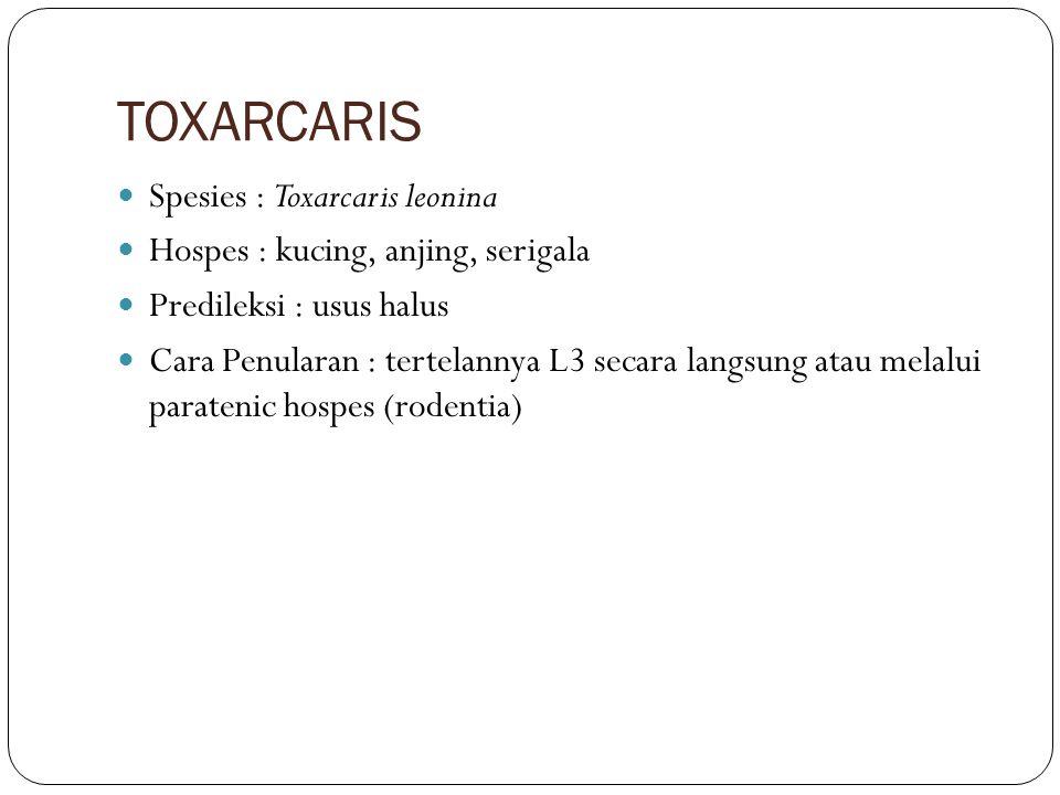 TOXARCARIS Spesies : Toxarcaris leonina