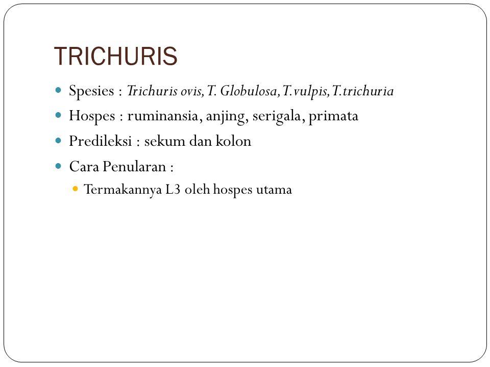 TRICHURIS Spesies : Trichuris ovis, T. Globulosa, T.vulpis, T.trichuria. Hospes : ruminansia, anjing, serigala, primata.