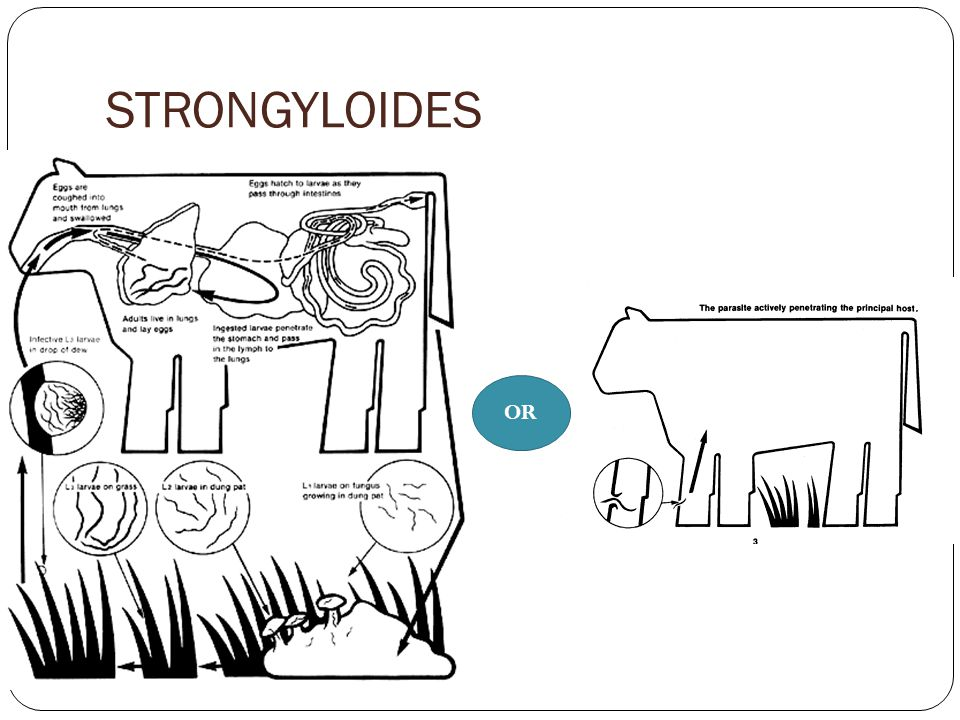 STRONGYLOIDES OR