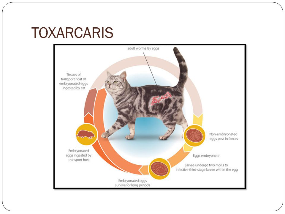 TOXARCARIS