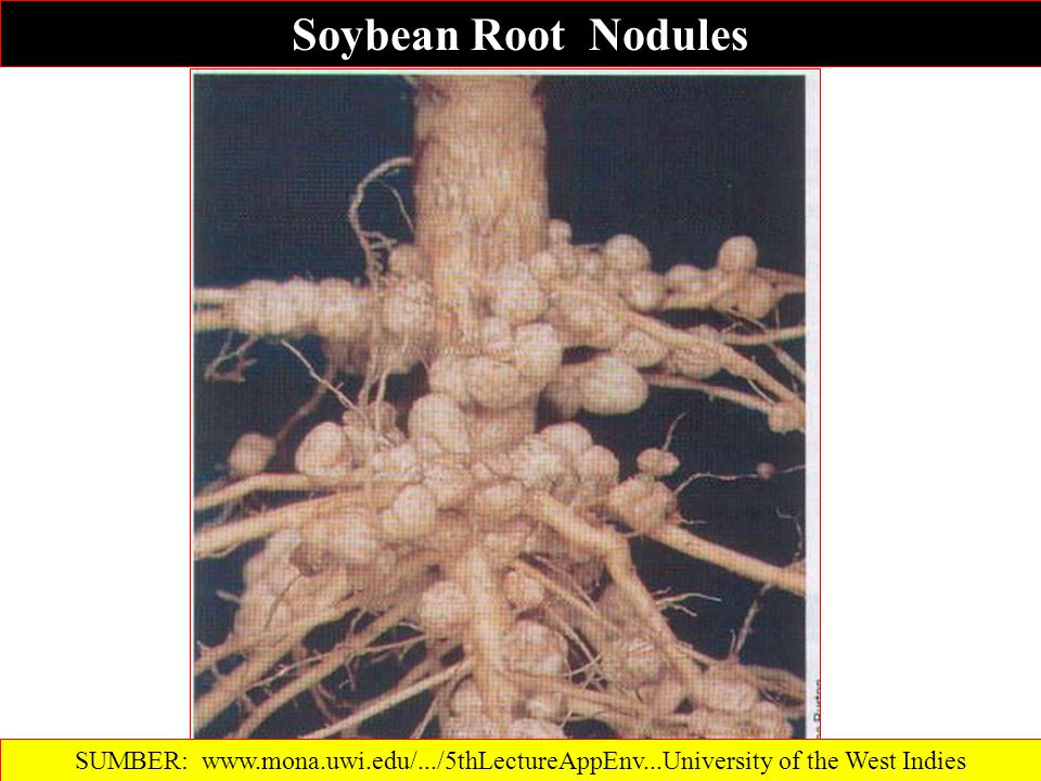 Soybean Root Nodules SUMBER: www.mona.uwi.edu/.../5thLectureAppEnv...‎University of the West Indies.