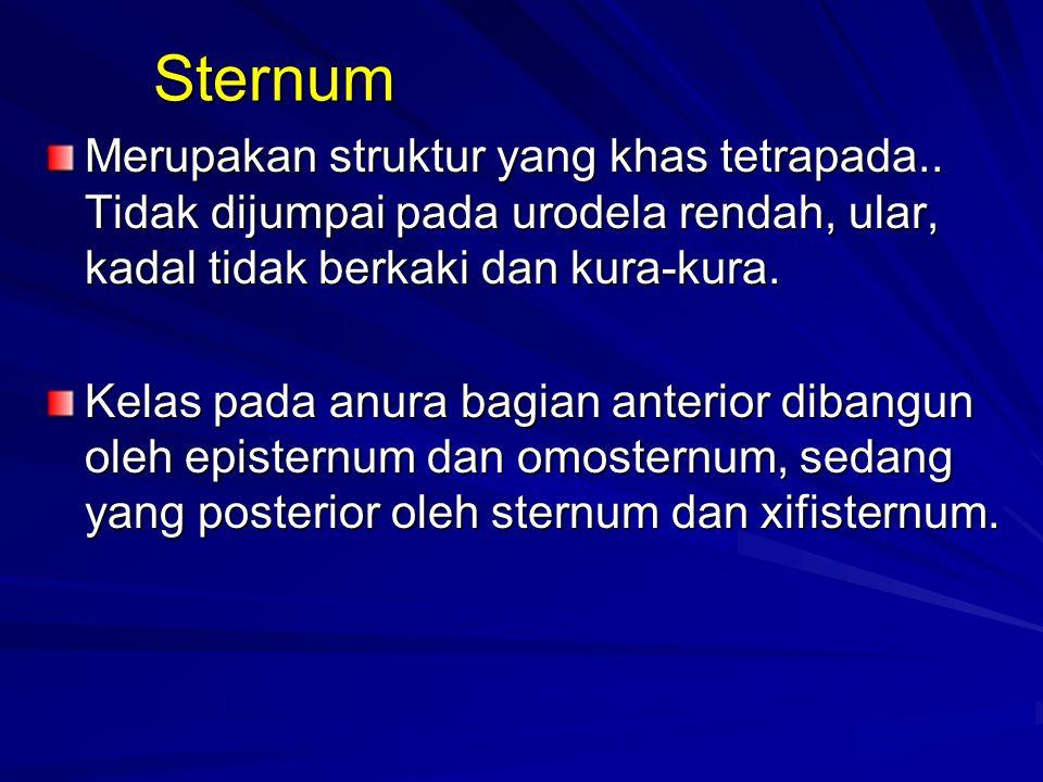 Sternum Merupakan struktur yang khas tetrapada.. Tidak dijumpai pada urodela rendah, ular, kadal tidak berkaki dan kura-kura.