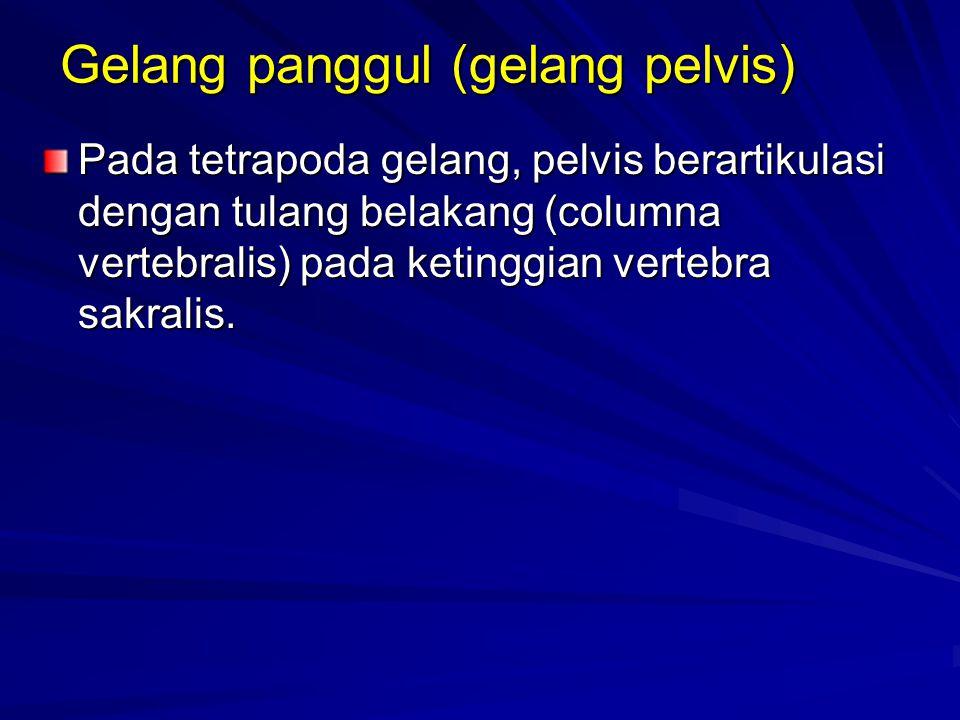 Gelang panggul (gelang pelvis)