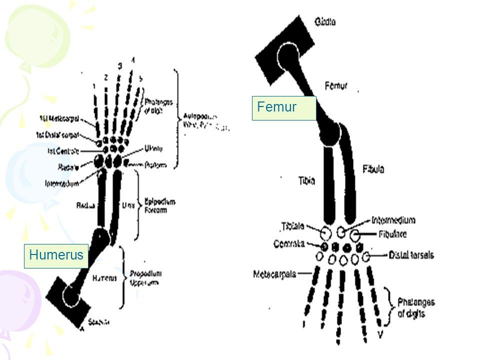Femur Humerus