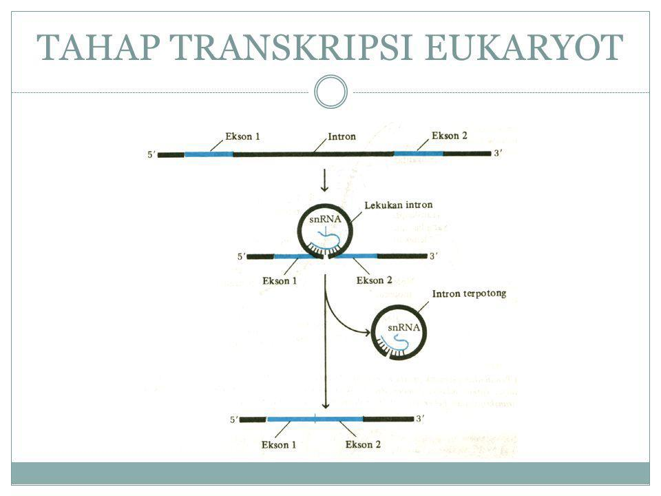 TAHAP TRANSKRIPSI EUKARYOT