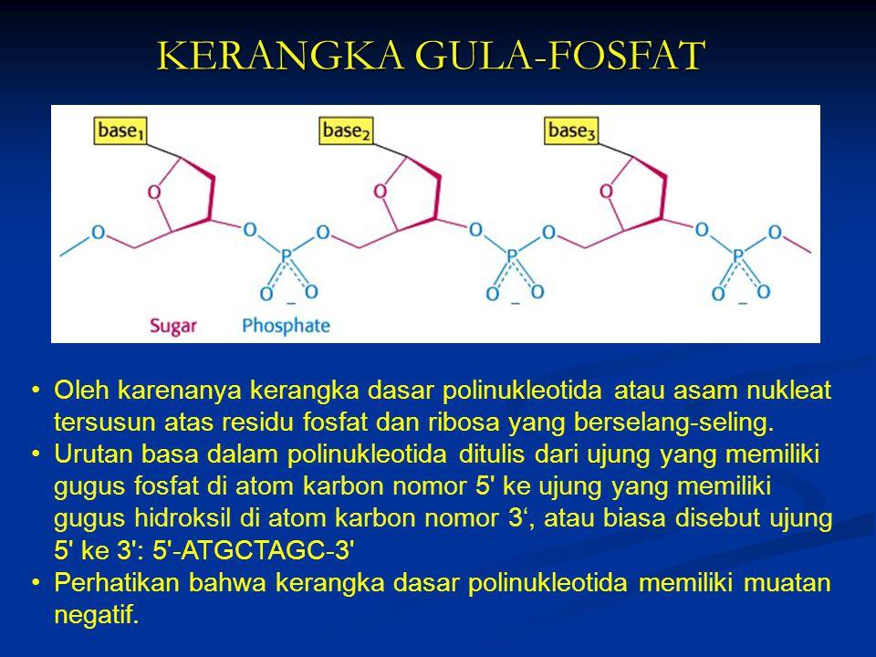 KERANGKA GULA-FOSFAT Oleh karenanya kerangka dasar polinukleotida atau asam nukleat tersusun atas residu fosfat dan ribosa yang berselang-seling.