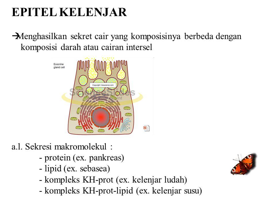 EPITEL KELENJAR Menghasilkan sekret cair yang komposisinya berbeda dengan. komposisi darah atau cairan intersel.