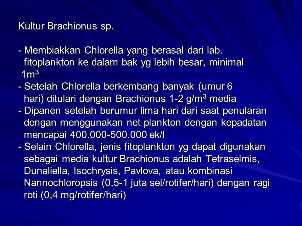 Kultur Brachionus sp. - Membiakkan Chlorella yang berasal dari lab