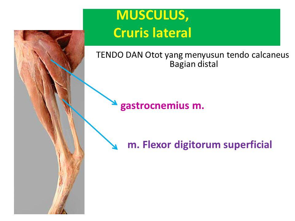 TENDO DAN Otot yang menyusun tendo calcaneus