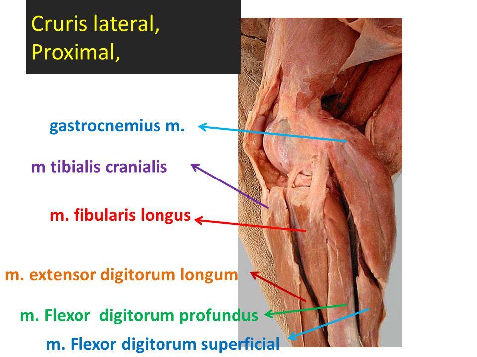 Cruris lateral, Proximal, gastrocnemius m. m tibialis cranialis