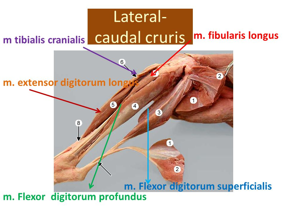 Lateral-caudal cruris
