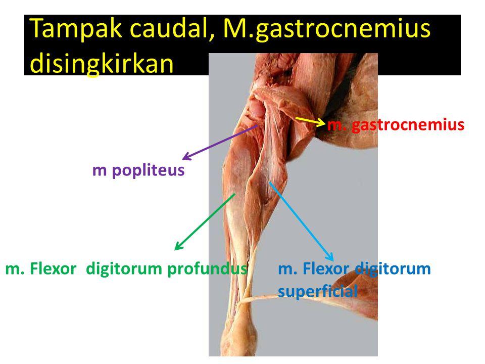 Tampak caudal, M.gastrocnemius disingkirkan