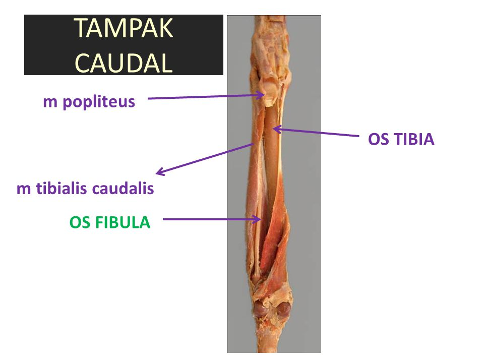 TAMPAK CAUDAL m popliteus OS TIBIA m tibialis caudalis OS FIBULA