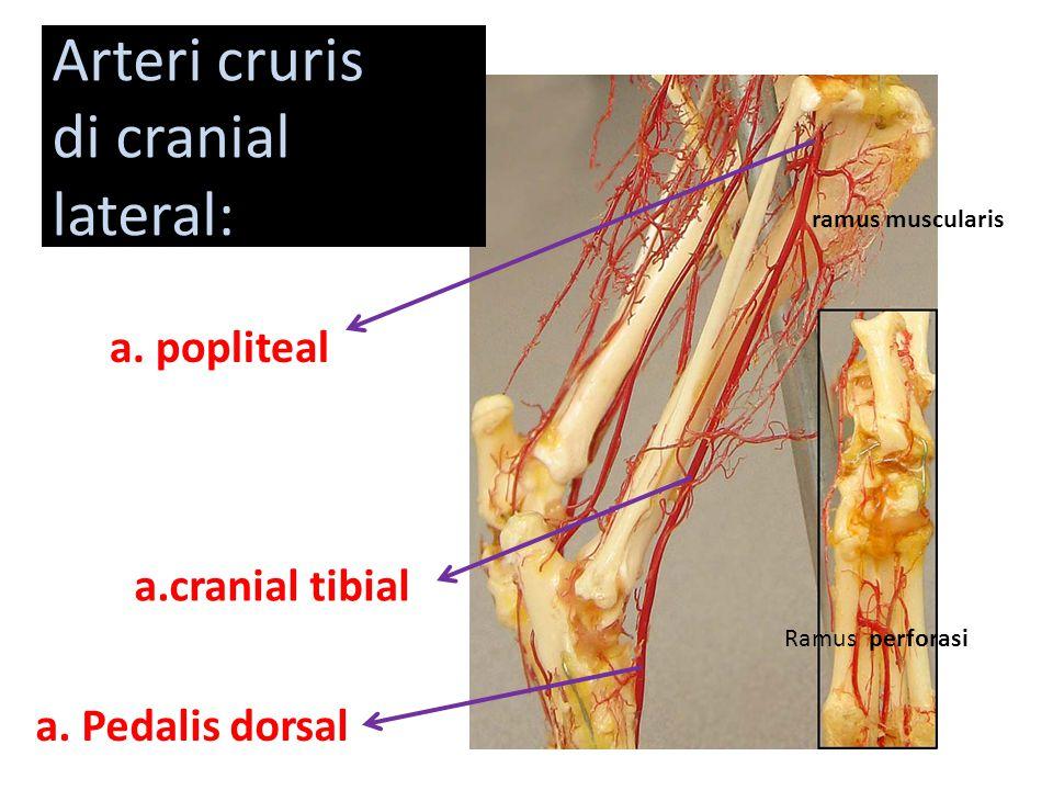 Arteri cruris di cranial lateral: