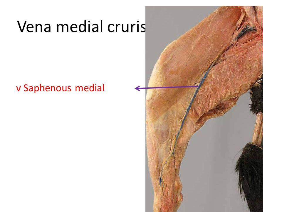 Vena medial cruris v Saphenous medial