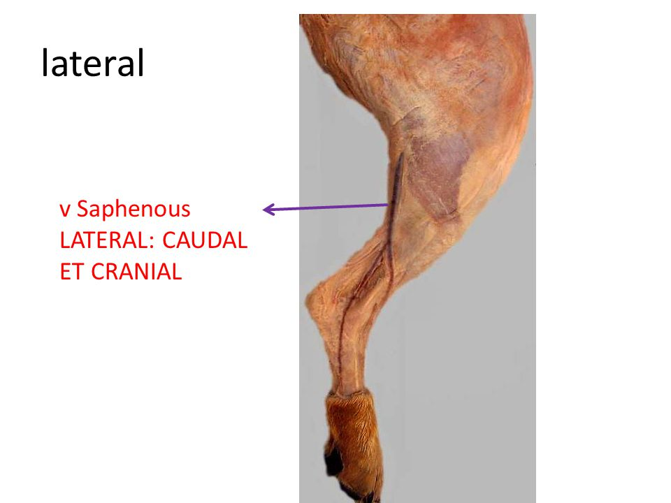 lateral v Saphenous LATERAL: CAUDAL ET CRANIAL