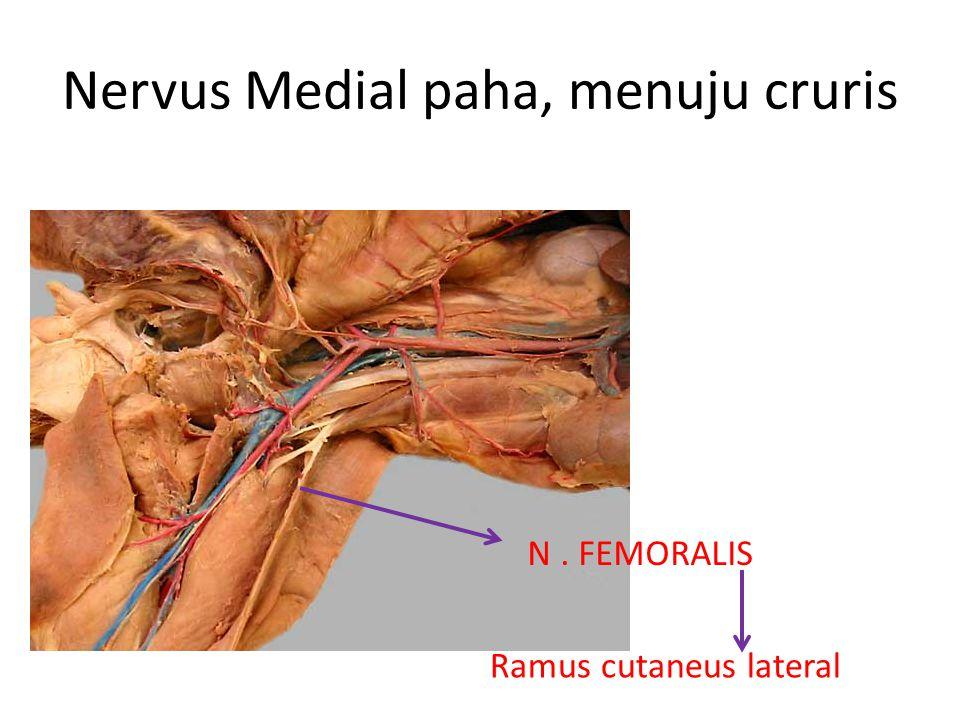 Nervus Medial paha, menuju cruris