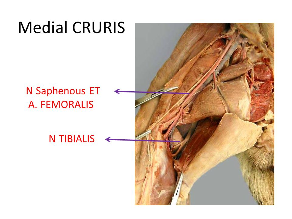 Medial CRURIS N Saphenous ET A. FEMORALIS N TIBIALIS