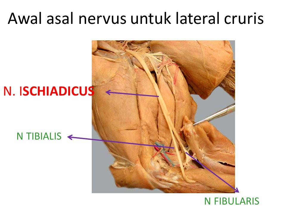 Awal asal nervus untuk lateral cruris