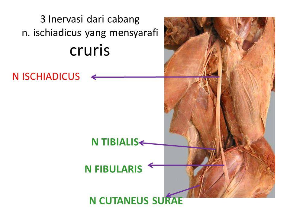 3 Inervasi dari cabang n. ischiadicus yang mensyarafi cruris