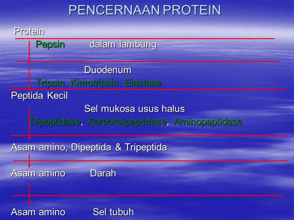 PENCERNAAN PROTEIN Protein Pepsin dalam lambung Duodenum