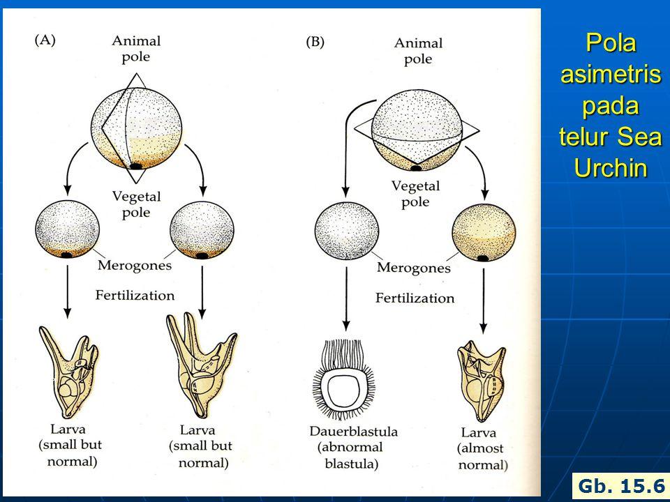Pola asimetris pada telur Sea Urchin