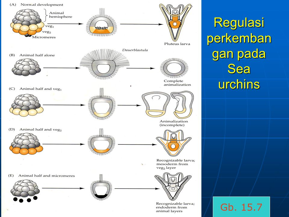 Regulasi perkembangan pada Sea urchins