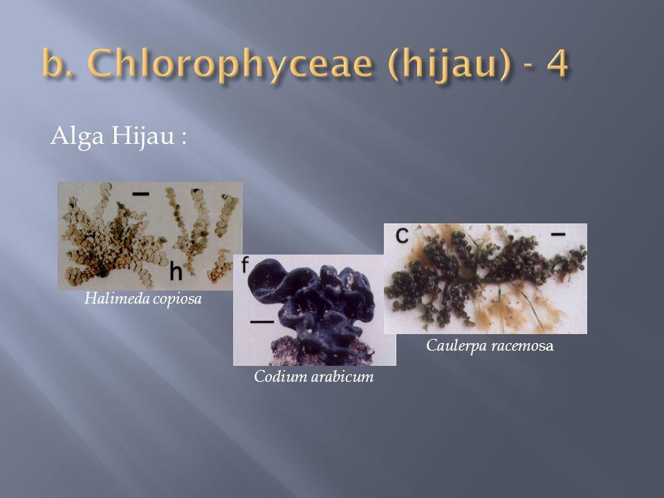b. Chlorophyceae (hijau) - 4