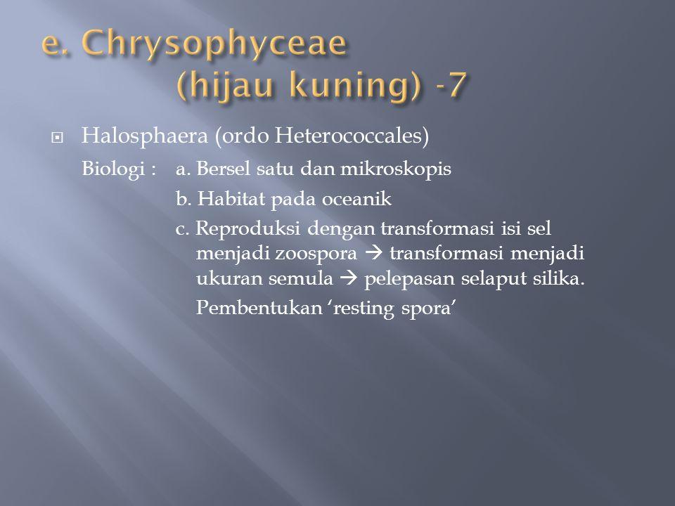 e. Chrysophyceae (hijau kuning) -7