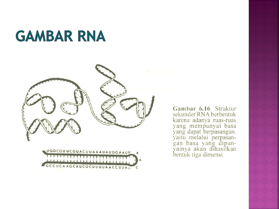 Gambar RNA