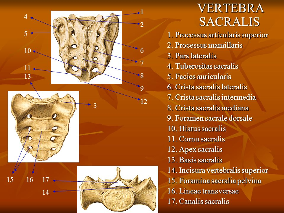 VERTEBRA SACRALIS 1. Processus articularis superior