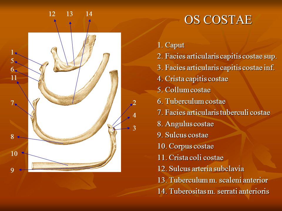 OS COSTAE 1. Caput 2. Facies articularis capitis costae sup.