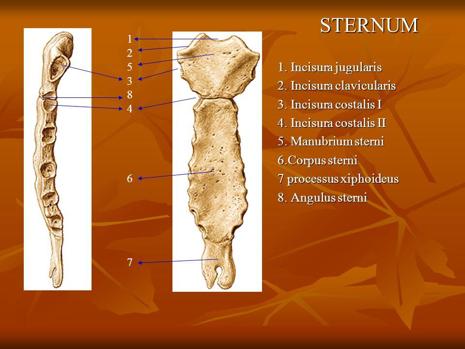 STERNUM 1. Incisura jugularis 2. Incisura clavicularis