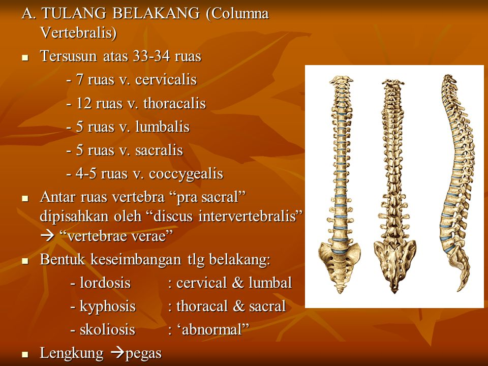 A. TULANG BELAKANG (Columna Vertebralis)