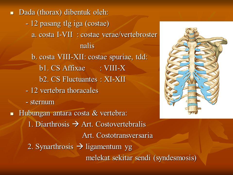 Dada (thorax) dibentuk oleh: