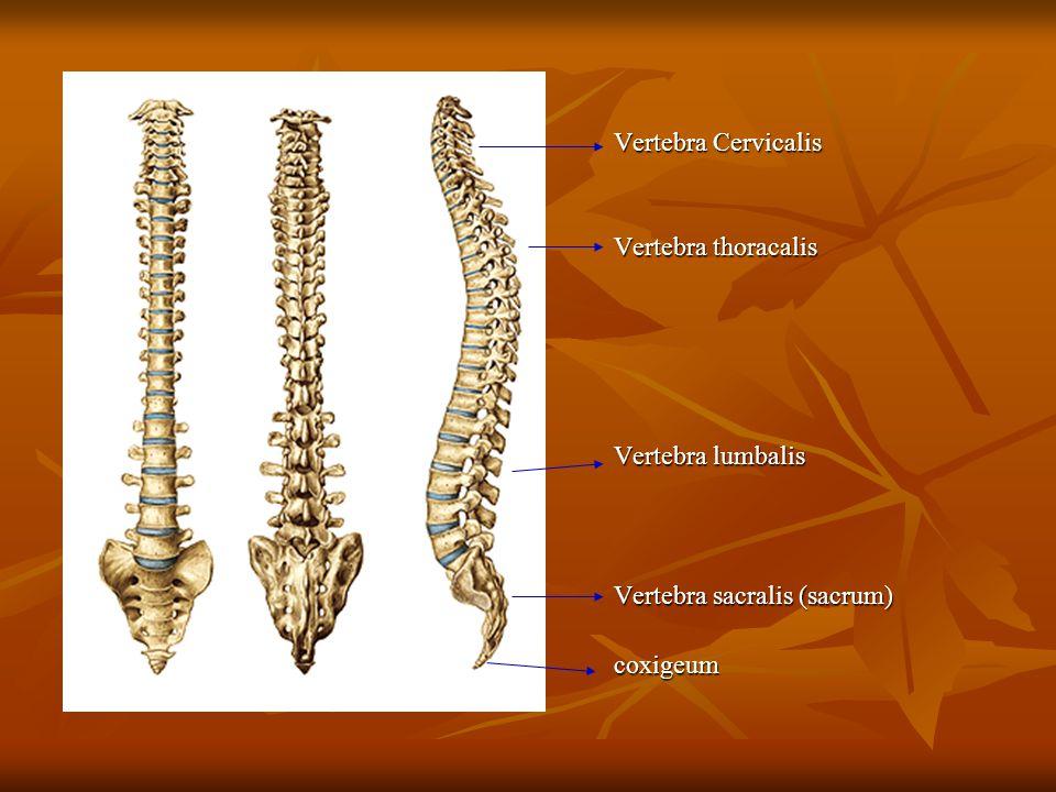 Vertebra Cervicalis Vertebra thoracalis Vertebra lumbalis Vertebra sacralis (sacrum) coxigeum
