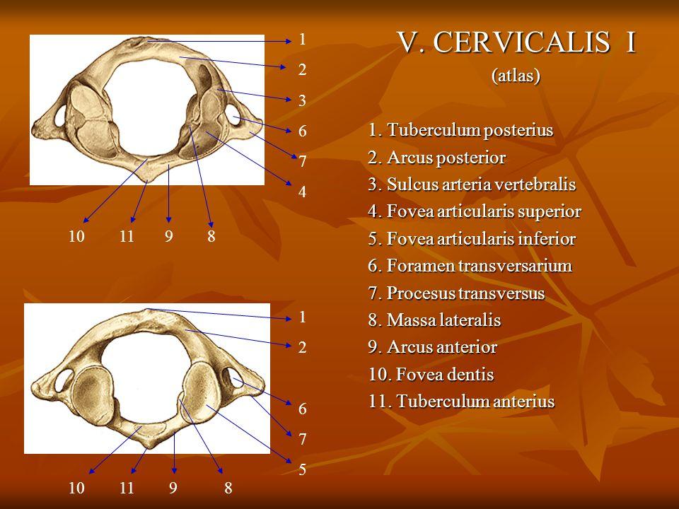 V. CERVICALIS I (atlas) 1. Tuberculum posterius 2. Arcus posterior