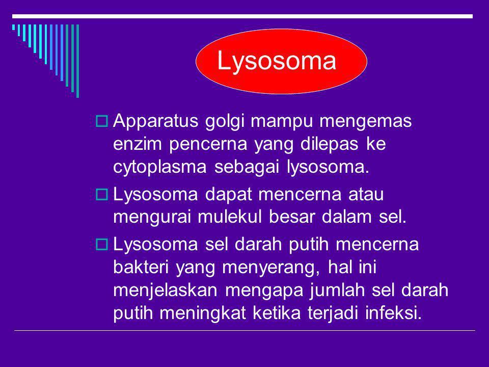Lysosoma Apparatus golgi mampu mengemas enzim pencerna yang dilepas ke cytoplasma sebagai lysosoma.