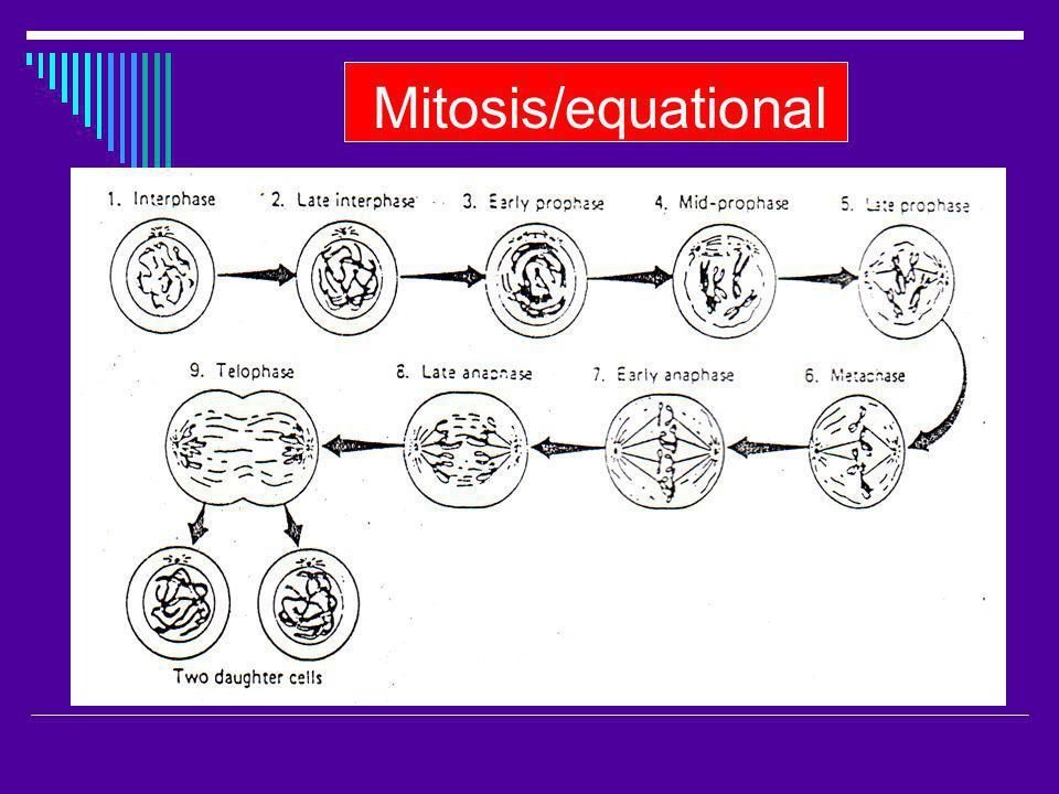 Mitosis/equational