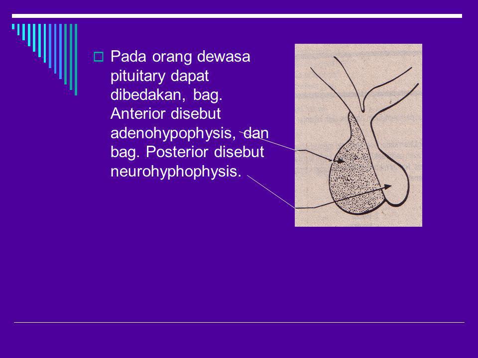 Pada orang dewasa pituitary dapat dibedakan, bag