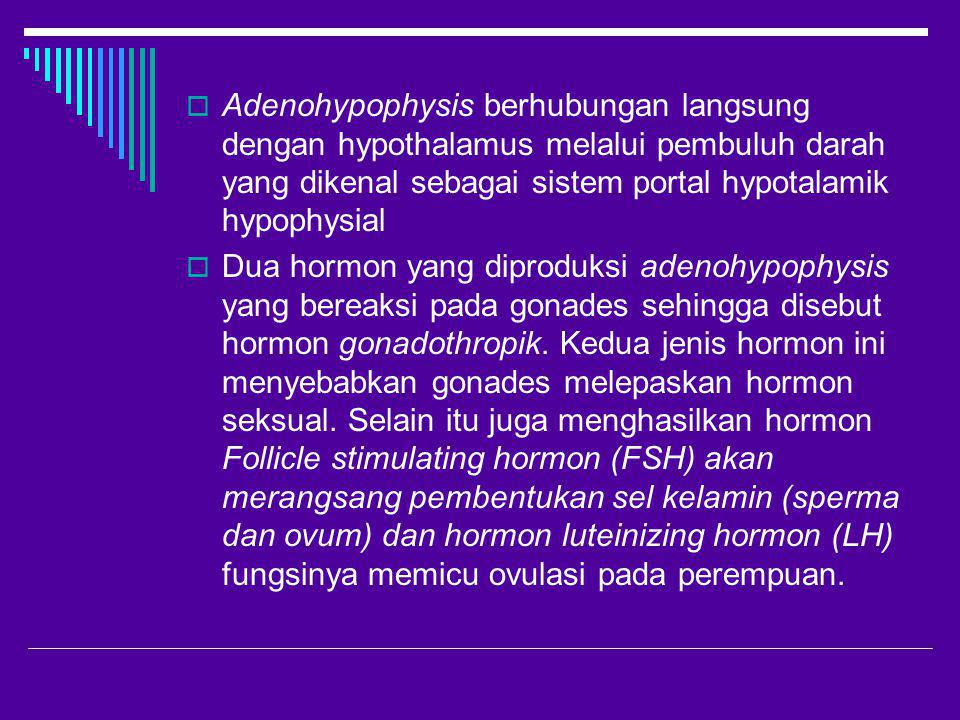 Adenohypophysis berhubungan langsung dengan hypothalamus melalui pembuluh darah yang dikenal sebagai sistem portal hypotalamik hypophysial