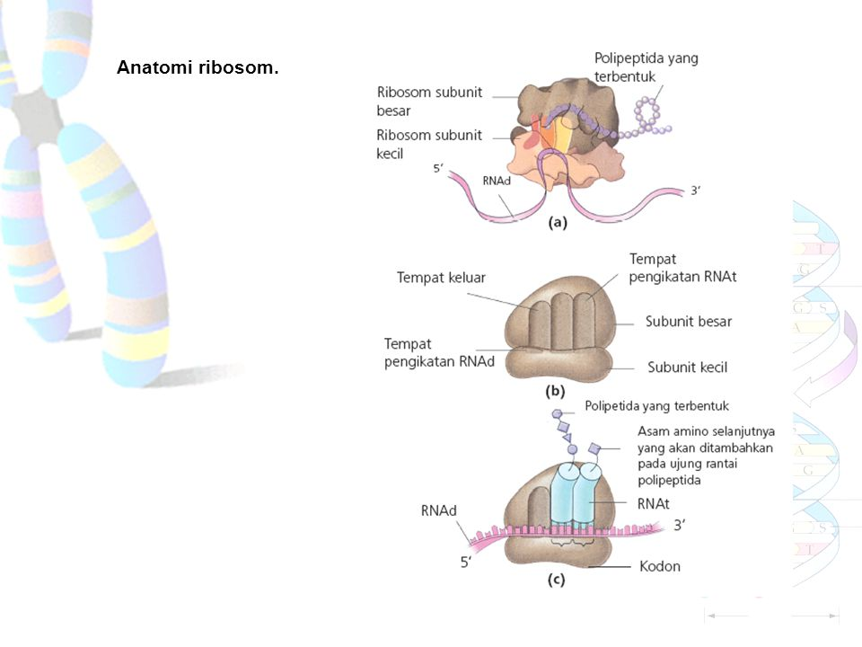 Anatomi ribosom.