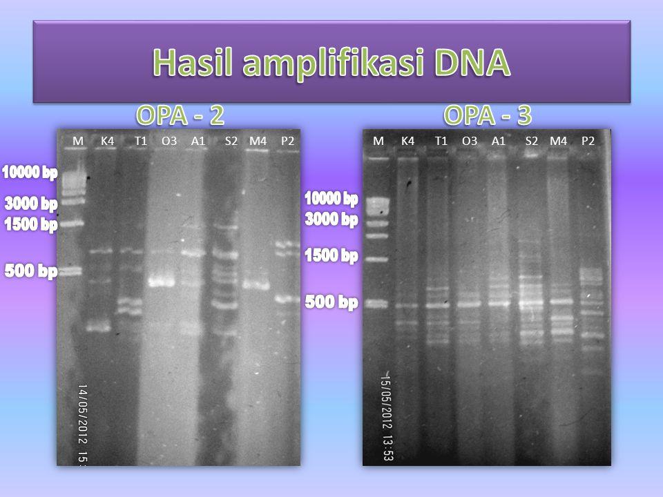 Hasil amplifikasi DNA OPA - 2 OPA - 3 M K4 T1 O3 A1 S2 M4 P2