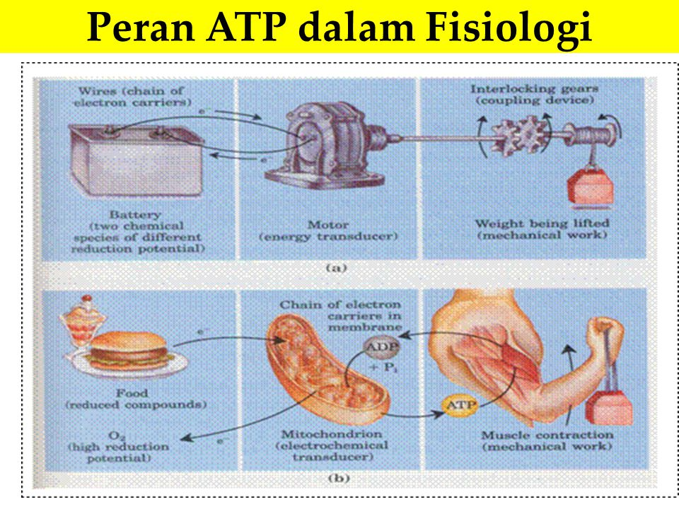 Peran ATP dalam Fisiologi
