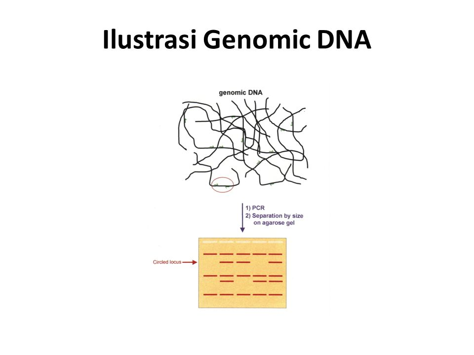 Ilustrasi Genomic DNA