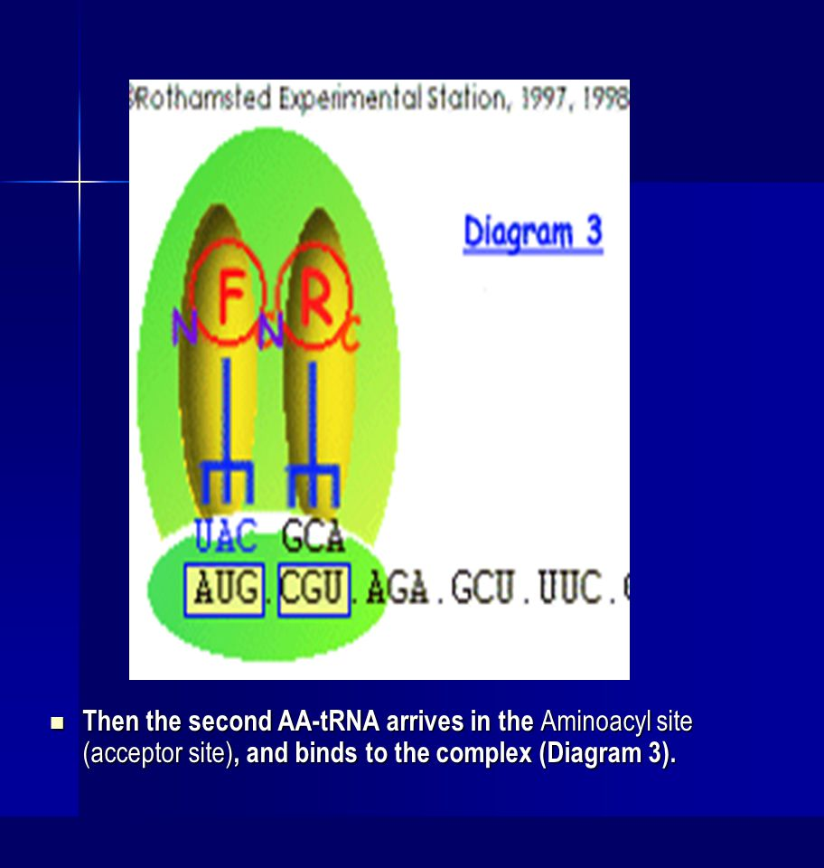 Then the second AA-tRNA arrives in the Aminoacyl site (acceptor site), and binds to the complex (Diagram 3).