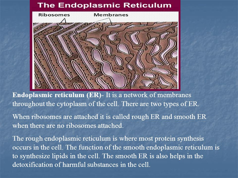 Endoplasmic reticulum (ER)- It is a network of membranes throughout the cytoplasm of the cell. There are two types of ER.