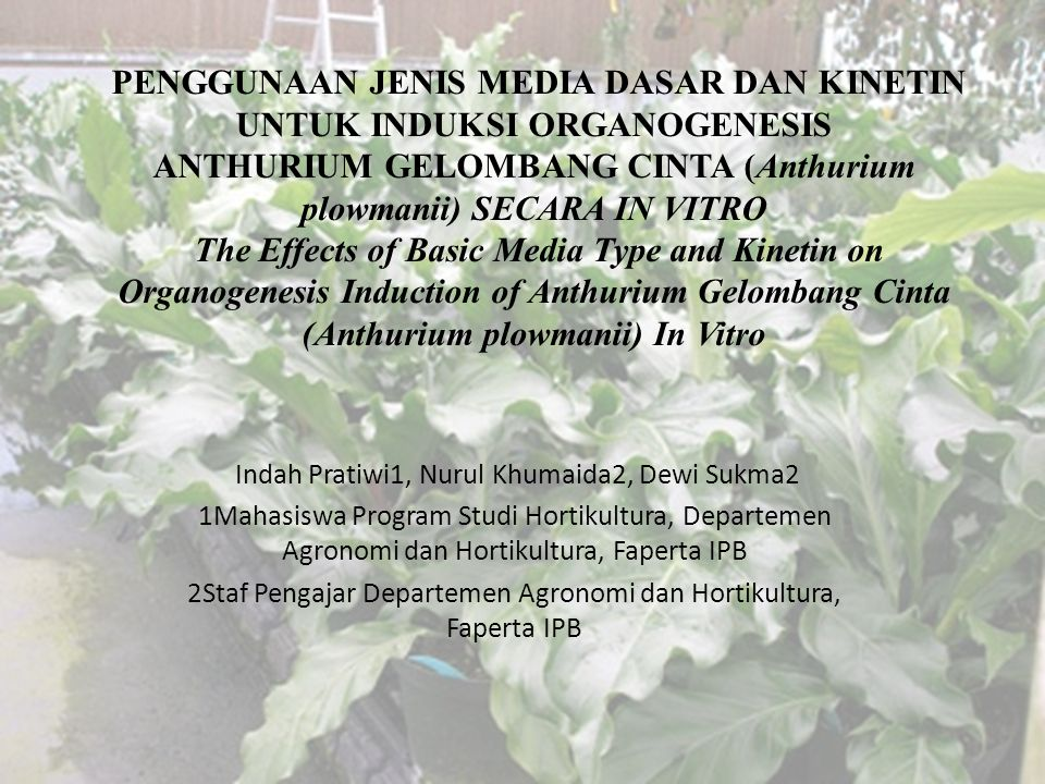 PENGGUNAAN JENIS MEDIA DASAR DAN KINETIN UNTUK INDUKSI ORGANOGENESIS ANTHURIUM GELOMBANG CINTA (Anthurium plowmanii) SECARA IN VITRO The Effects of Basic Media Type and Kinetin on Organogenesis Induction of Anthurium Gelombang Cinta (Anthurium plowmanii) In Vitro