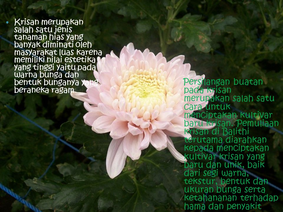Krisan merupakan salah satu jenis tanaman hias yang banyak diminati oleh masyarakat luas karena memiliki nilai estetika yang tinggi yaitu pada warna bunga dan bentuk bunganya yang beraneka ragam