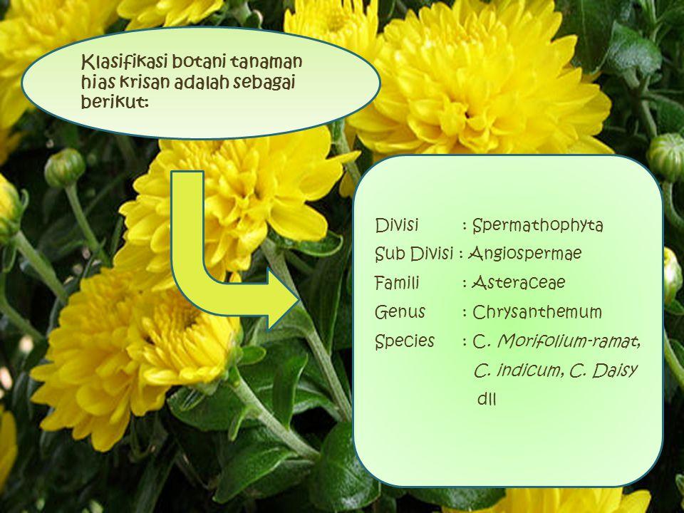 Klasifikasi botani tanaman hias krisan adalah sebagai berikut: